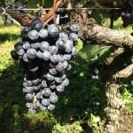 【グレイス明野栽培クラブ】収穫デー&一人一本持ち寄りワイン会(ヴィンテージリゾート)